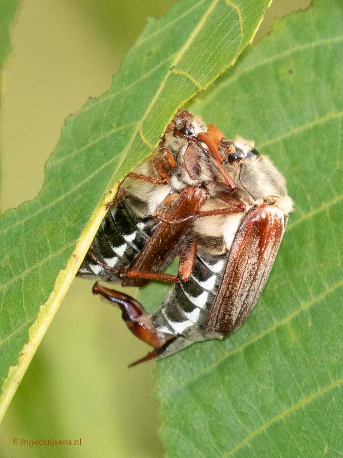 Gewonemeikevers270518ID