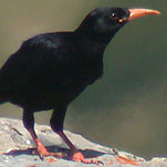 Alpenkraai160705_mp.jpg